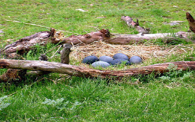 Emu_eggs_nest