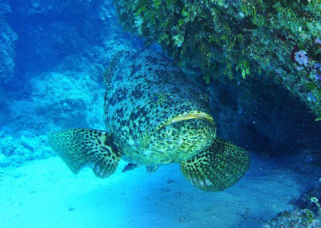 Epinephelus Itajara (Goliath grouper)