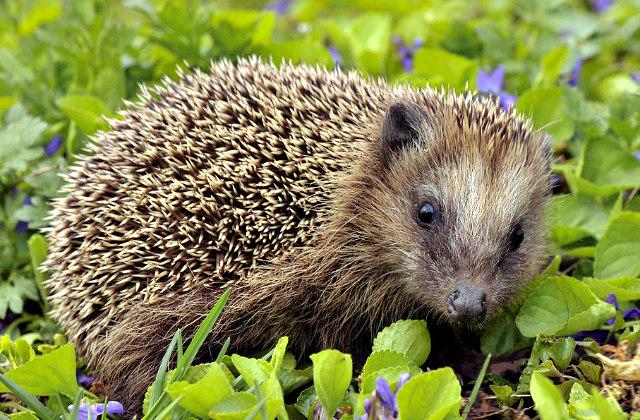 Erinaceus_europaeus_European_Hedgehog