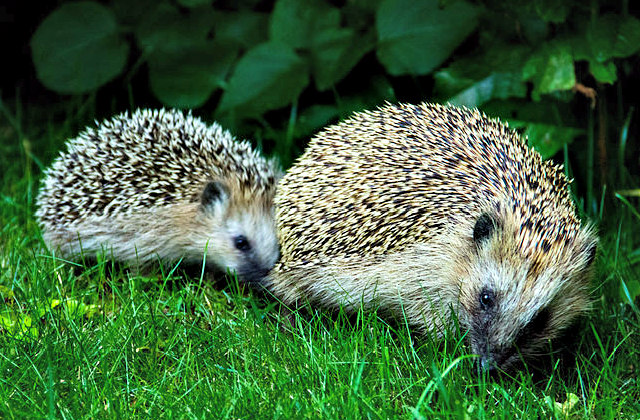 European_Hedgehog_Mother_and_Child
