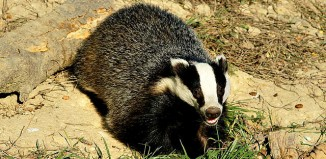 European_badger