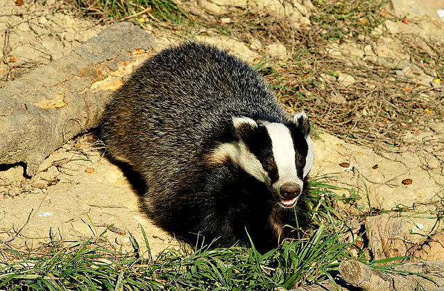 European_badger