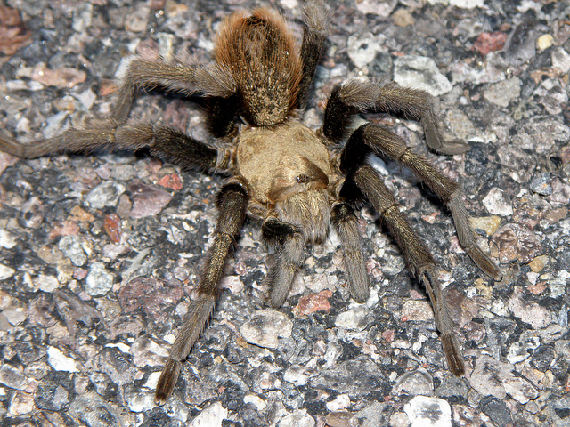 Female Blond Tarantula