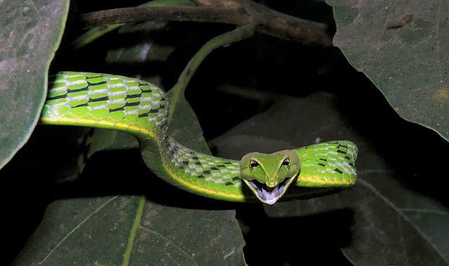 Female_Vine_Snake