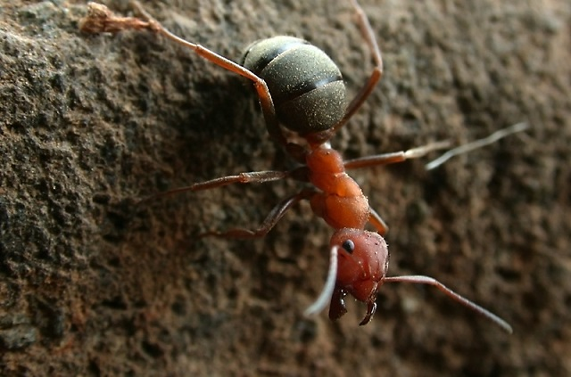 Formica integroides worker ant