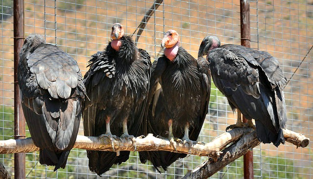 Four California Condors in Hopper Mountain Capture Facility