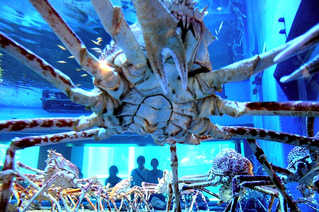 Giant Japanese spider crab1