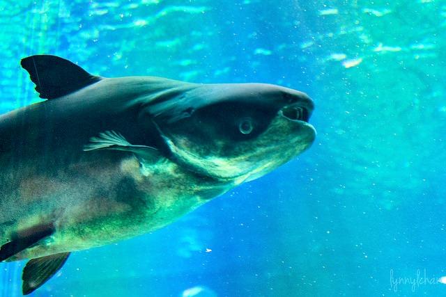 Giant_Mekong_Catfish