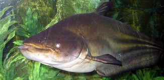 Giant_Mekong_Catfish_Wallago_leeri