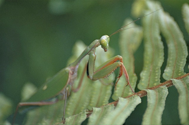 Giant Rainforest Mantis Facts Always Learning