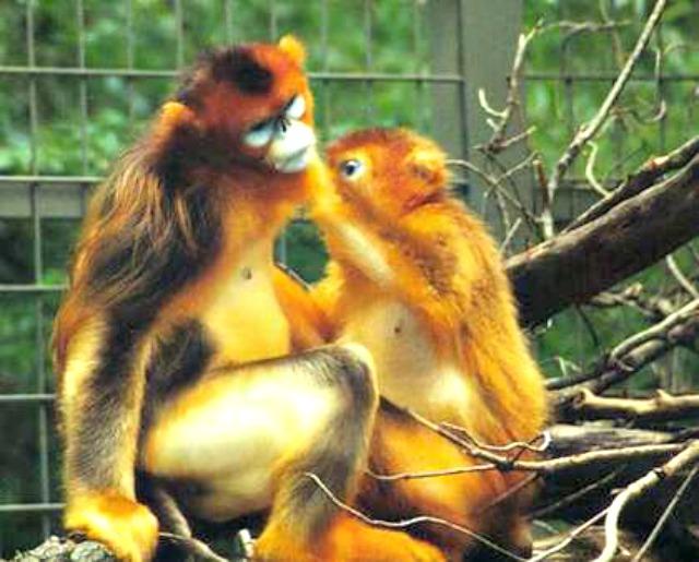 Goldstumpfnasen_(Rhinopithecus_roxellana)