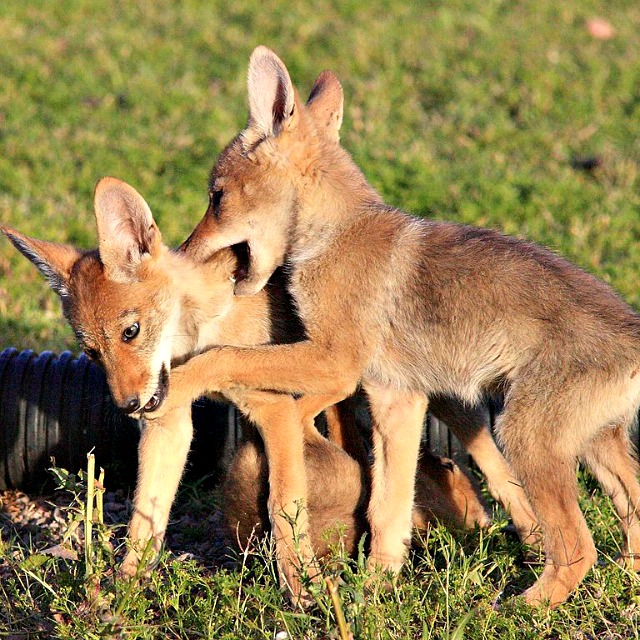 Gpa_bill_coyote_pups