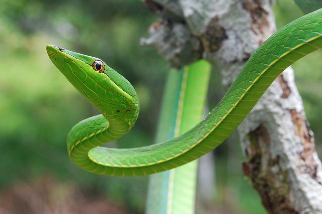 Green vine snake, Yasuni