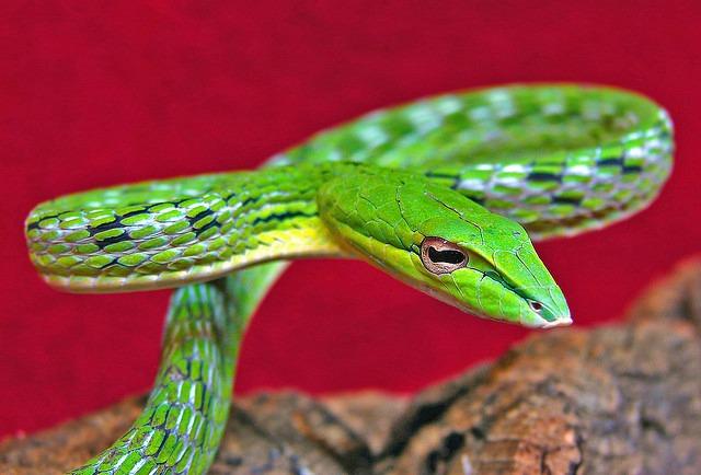 Green_Vine_Snake_Venom
