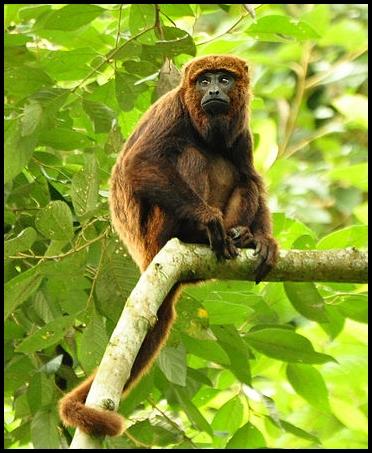 Howler monkey image