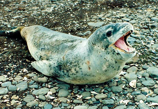 Hydrurga_leptonyx_Leopard_seal