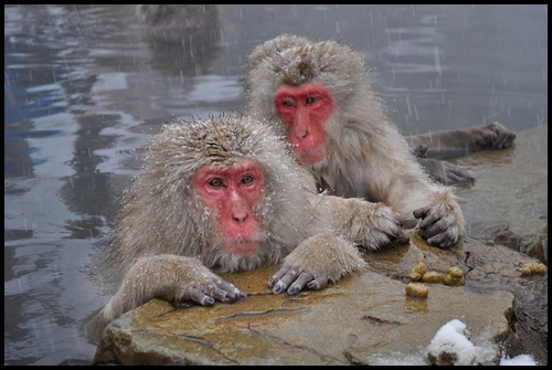 Japanese Macaque Image