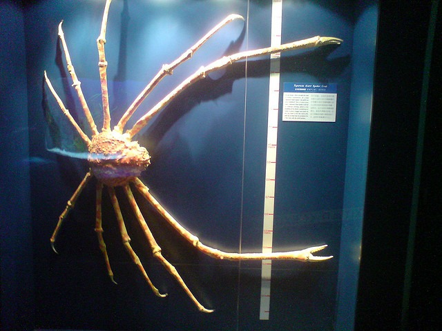 Japanese giant spider crab exoskeleton