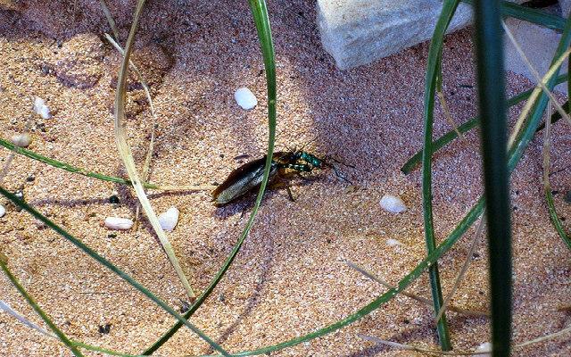Jewel_wasp_cockroach