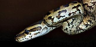 Juvenile Burmese Python - Koedoesdraai