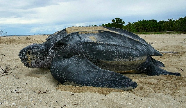 Leatherback_sea_turtle