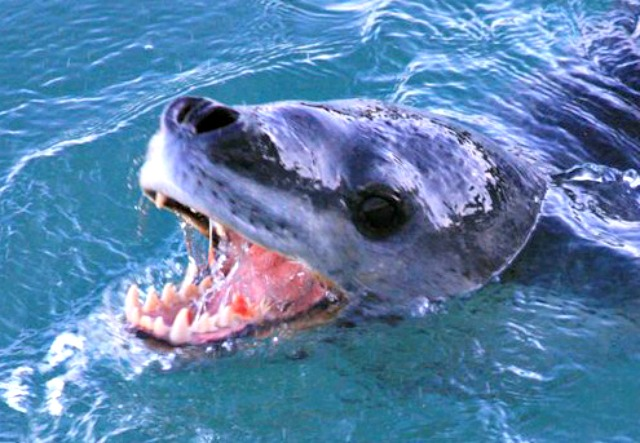 Leopard_seal_teeth