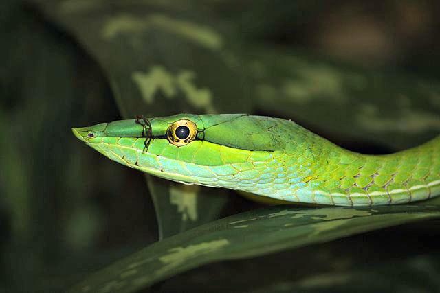Long-nosed_Vine_Snake