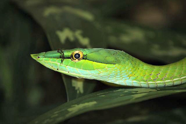 Green Vine Snake Facts! | Always Learning!