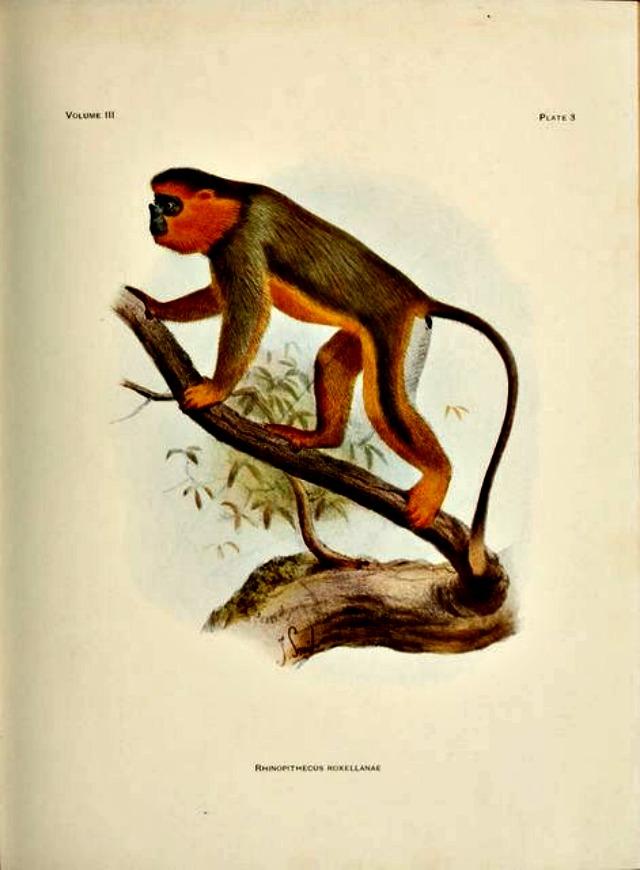 Mammals-18-139 - Golden snub-nosed monkey