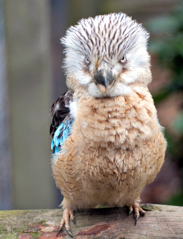 Mean Looking Blue Winged Kookaburra