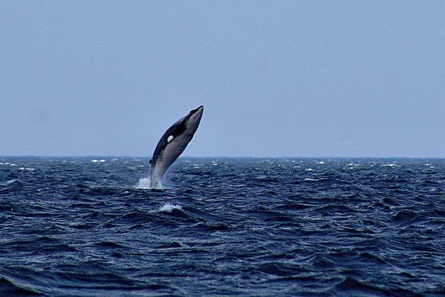 Minke_Whale_Breaching