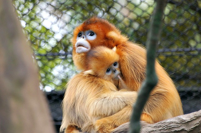 Mother and a child Golden snub-nosed monkey