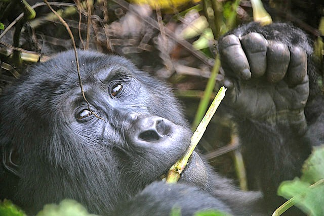 Mountain_Gorilla_Diet