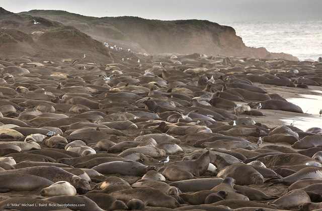 Northern_Elephant_Seals