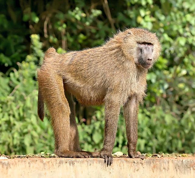 Olive_baboon_Ngorongoro