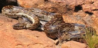 Python Natalensis
