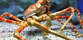 Spider_crab_at_manila_ocean_park