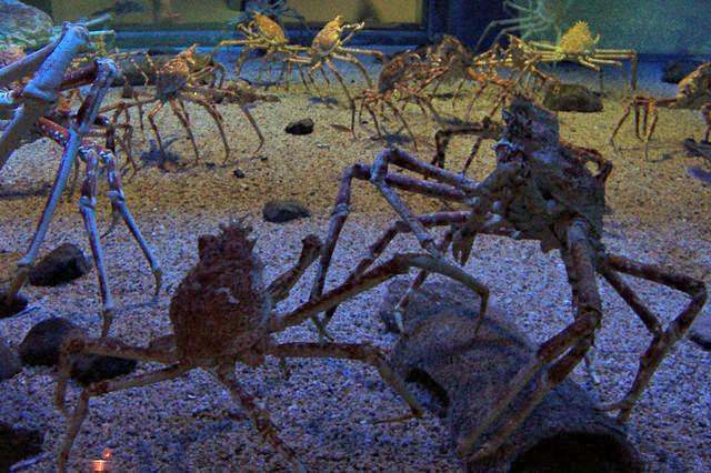 Spider_crabs_at_the_Kaiyukan_Aquarium_in_Osaka