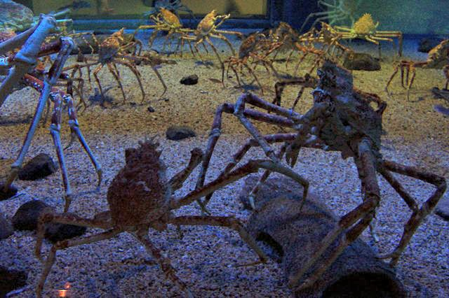 Spider_crabs_at_the_Kaiyukan_Aquarium_in_Osaka