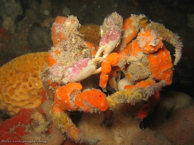 Sponge Decorator Crabs