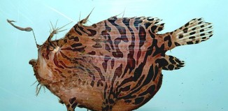 Striped anglerfish ( Antennarius striatus)