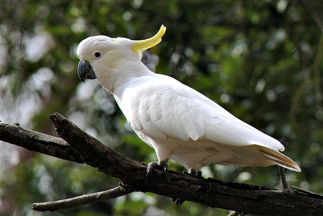 Cockatoo Facts! | Fun Facts You Need to Know!