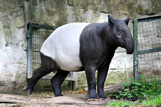 Tapirus_indicus_Malayan_tapir