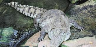 West_African_crocodile_Desert_crocodile