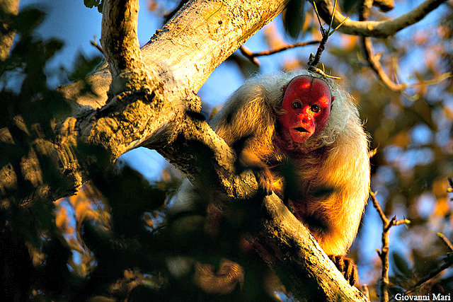 White Bald-headed Uakari