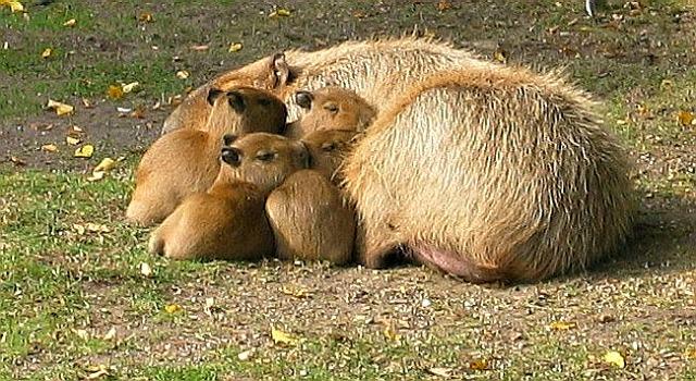 Young_capybaras