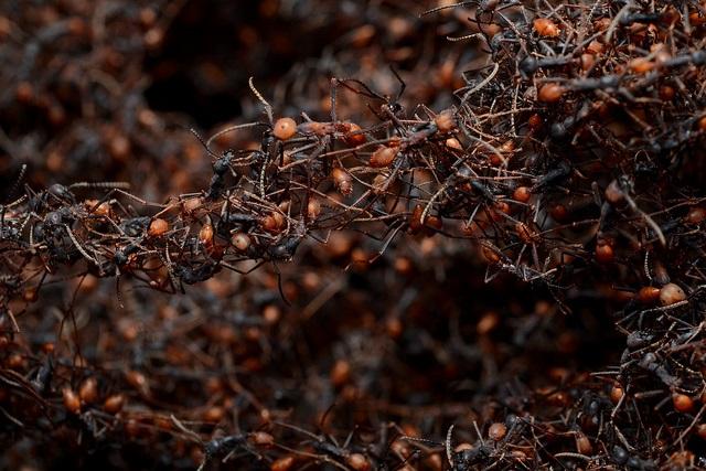 army ants bivouacs