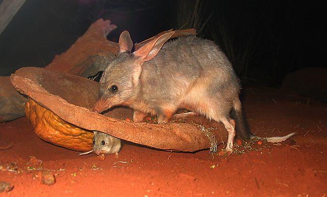 bilby (Macrotis lagotis)