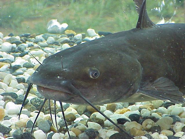 catfish-barbels