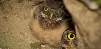 coruja buraqueira - Burrowing Owl